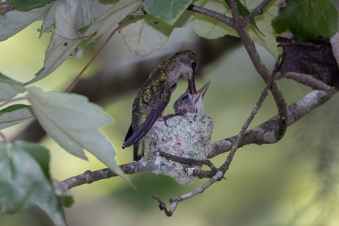 A female hummingbird feeds its two hatchlings earlier this week not far from the public boardwalk through the wetlands in Lockport. The adult bird is about 3 inches in length.