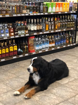Keri, the longtime mascot of Anthony's Liquor Mart, will be the face of a new beer available exclusively in Gardner.