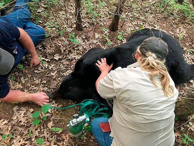 In this July 2020 photo provided by the Missouri Department of Conservation, a bear dubbed Bruno by social media is sedated and transported to safety by Missouri Department of Conservation staff in St. Charles County, Mo. Wildlife officials said Wednesday, June 30, 2021,  the bear that gained a social media following while wandering through the U.S. Midwest has died after being hit by a vehicle in Louisiana. The Louisiana Department of Wildlife and Fisheries said the male bear had to be euthanized because both of his back legs were broken. Bruno had traveled in Wisconsin, Illinois and Iowa before getting cornered between two interstates and drawing a crowd of hundreds in Missouri. Missouri Department of Conservation via AP