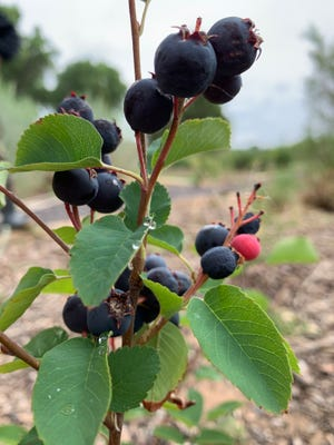 Western serviceberries at the New Mexico State University Agricultural Science Center at Los Lunas on June 25, 2021.