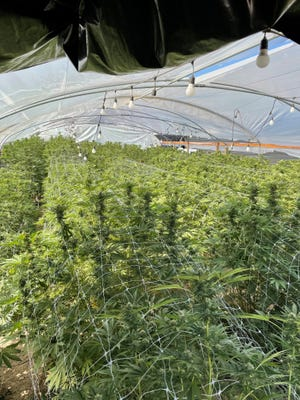 Sheriff's officials recovered over 300 pounds of processed marijuana, illegal grows, firearms and a stolen trailer at two locations in Victorville on Thursday, July 1, 2021.
