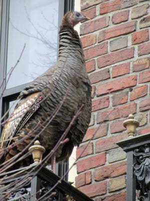 This turkey explored the second-floor balconies on a residential building on Commonwealth Avenue.