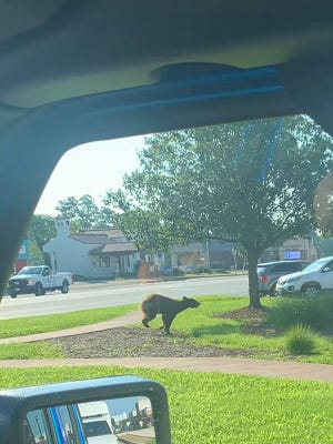 A black bear was spotted at the intersection of Highways 5 & 54 at the Camdenton Square on Tuesday.