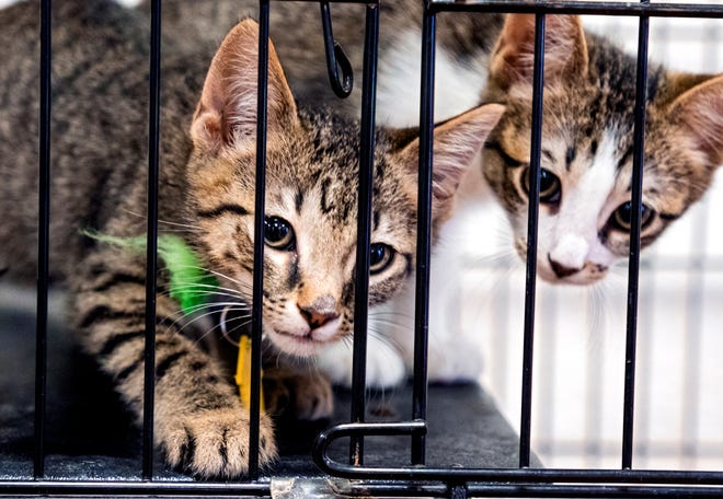 Kittens available for adoption at the Oklahoma Humane Society Adoption Center in July are shown. The organization has had a large increase in the number of animals this year, and are in need of those willing to adopt and foster animals.