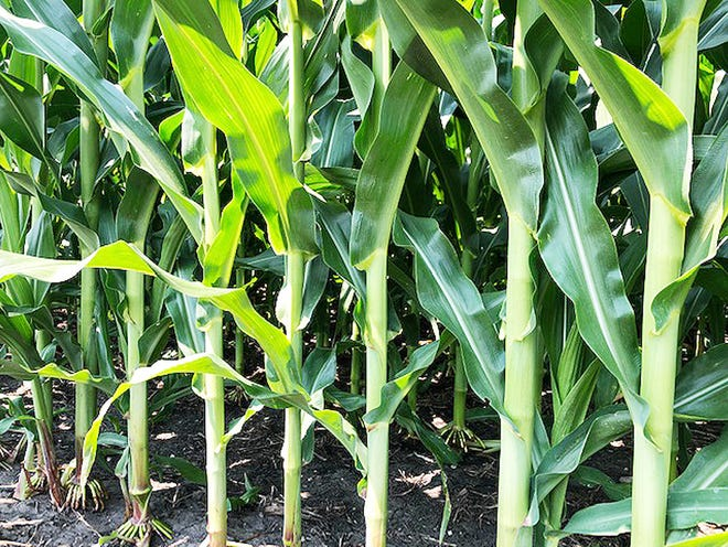 Corn appears to be doing well despite heavy rains.