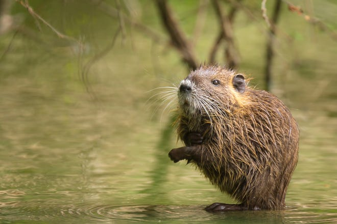 A muskrat in the water hiding between roots of a tree in wetlands. The muskrat's role in preserving wetlands and marshes is often overlooked.