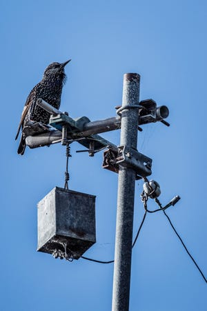 Starling birds, once introduced to consume insect pests on farms, are often considered nuisance pests nowadays, and often the subject of necessary reduction.