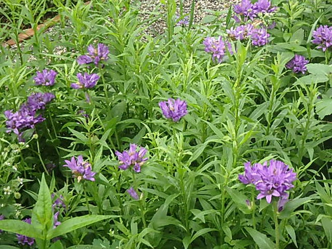Clustered bellflower (Campanula glomerata) spreads by root but is fairly easy to manage.