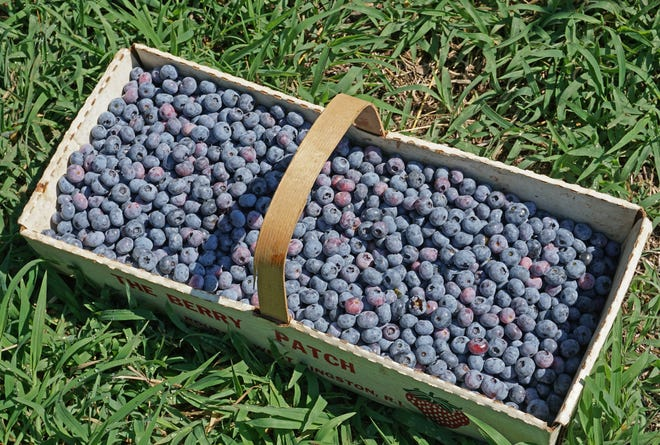 A basket of blueberries provides many sweet treats.