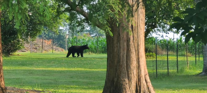 Atwater Firefighter Greg Langford took a photo of this black bear spotted in a neighbor's back yard a few hundred yards west of the Atwater Fire Station along Waterloo Road. Langford estimated the bear was around 100 yards away.