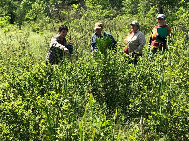 Sarett Nature Center naturalists look for and count the Mitchell's satyr butterfly in the Benton Harbor preserve's wetland.