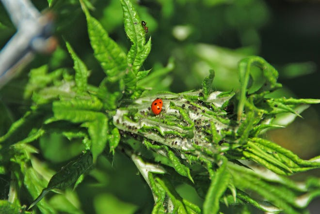Lady beetles are one of the good guys, helping to control populations of aphids and other harmful insect pests in the garden.