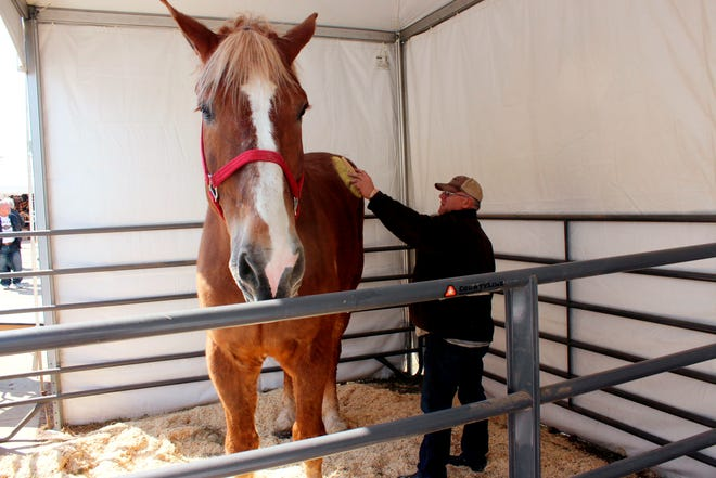 """Jerry Gilbert brushes Big Jake at the Midwest Horse Fair in Madison, Wisc., in this Friday, April 11, 2014, file photo. The world's tallest horse has died in Wisconsin. WMTV reported Monday, July 5, 2021, that the 20-year-old Belgian named """"Big Jake"""" died several weeks ago. Big Jake lived on Smokey Hollow Farm in Poynette. Big Jake was 6-foot-10 and weighed 2,500 pounds. The Guinness Book of World Records certified him as the world's tallest living horse in 2010."""