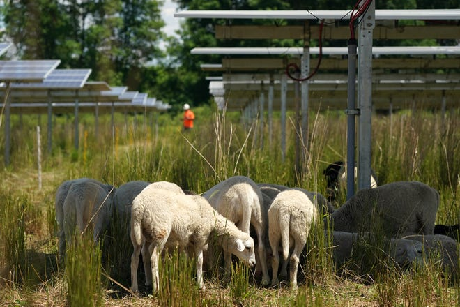 Grazing sheep help manage the pollinator-friendly vegetation at an Enel solar farm in Shafer, Minn. (Anthony Souffle/Minneapolis Star Tribune/TNS)