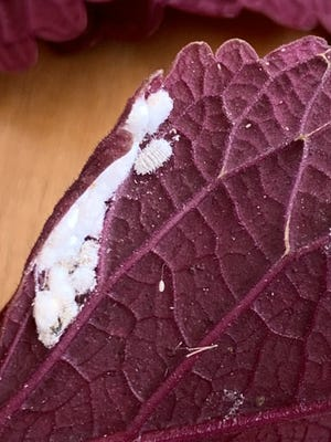 The understand of a coleus leaf with a mealybug prominent. Mealybugs may be tiny and fuzzy but they're anything but harmless.