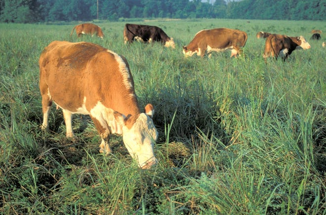 Cattle producers can learn more about how forage diversity and proper grassland management can improve soil health along with having benefits for livestock and native wildlife on July 21 at a grazing workshop that will be held on a private farm in Dade County near Everton.