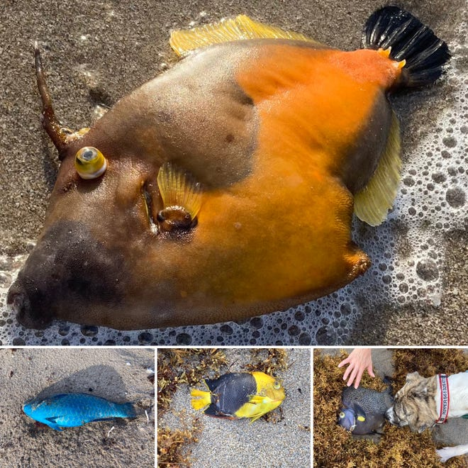 Scores of colorful reef fish were found dead on Palm Beach in late June 2021. Eddie Ritz
