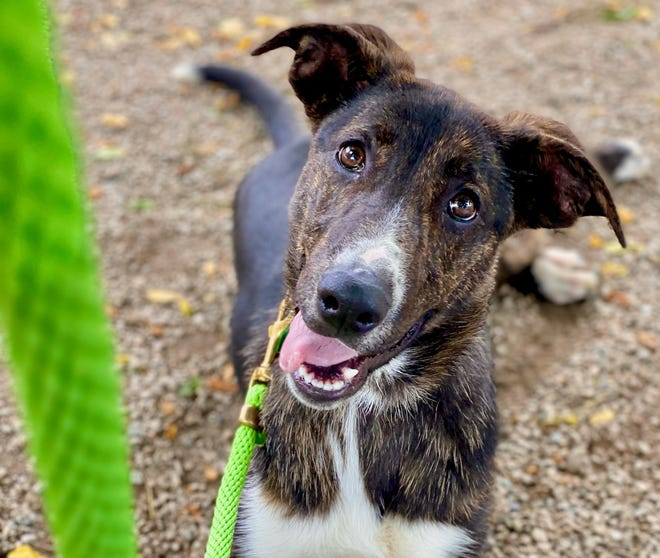 April, a Catahoula/Cur mix, is still a puppy at six months old.