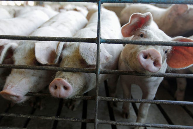 FILE - This June, 28, 2012, file photo shows hogs at a farm in Buckhart, Ill. The Biden administration plans to revive a set of rules designed to protect the rights of farmers who raise cows, chickens and hogs against the country's largest meat processors that the Trump administration killed four years ago. AP Photo/M. Spencer Green, File