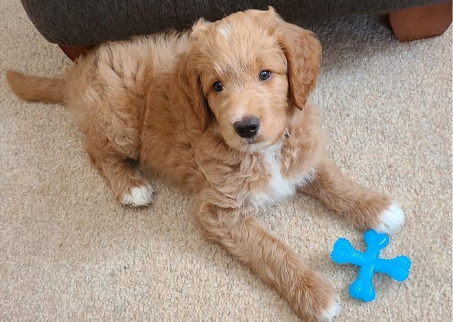 The Kline family is offering a $1,500 reward for the return of their lost golden labradoodle, Cooper. Cooper was last seen around 10:30 p.m. July 2 near Route 403 or Weigle Street in Hooversville. Neil Kline said he believes the 11-week-old puppy was lost during fireworks celebrations and may have been picked up. About 50 people, including a search dog, combed the area, according to Kline. Anyone with information is asked to call Ken Karashowsky at 814-410-7080 or Kline at 814-410-5252.