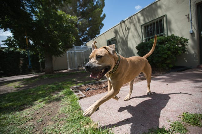 Scamp plays in the yard at ACTion Programs for Animals in Las Cruces on Wednesday, July 7, 2021.