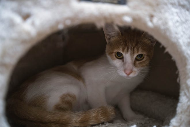 Cats rest in their enclosures at ACTion Programs for Animals in Las Cruces on Wednesday, July 7, 2021.