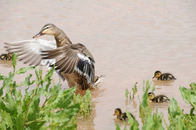 Waterfowl thrive in the seven ponds at Gilbert Riparian Preserve at Water Ranch.