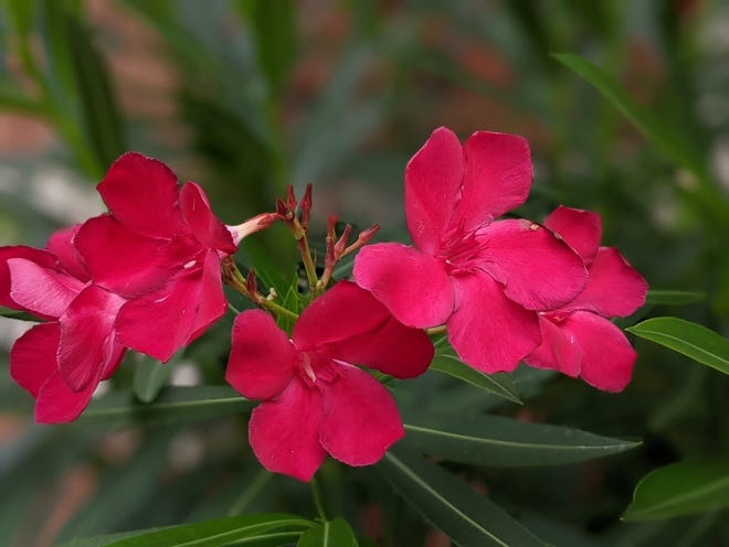 Be aware of oleander caterpillars this summer if you have oleanders, as they can defoliate the plants and halt flowering.