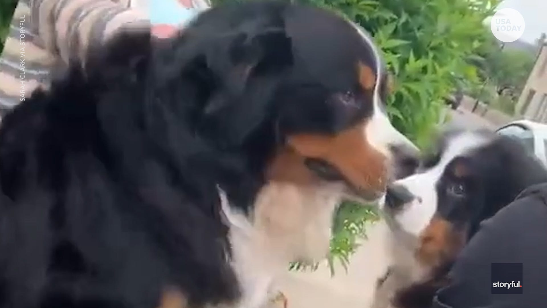 Bernese mountain dog couldn t contain it s excitement when a new puppy arrived home