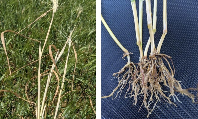 Left: Wheat plants killed by common root rot. Right: Discolored roots and sub crown due to root and crown rot.