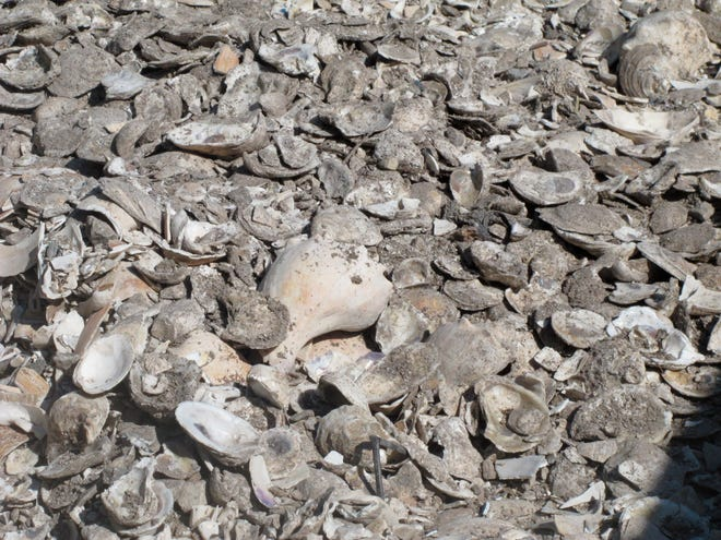 This June 29, 2021 photo shows a pile of oyster, clam and whelk shells drying in the sun in Port Republic, N.J. The shells are collected from restaurants in Atlantic City, dried, and placed into the Mullica River, where they become the foundation for new oyster colonies as free-floating baby oysters attach to them and start to grow.