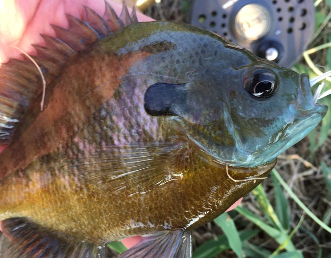 Bluegills might not seem like much to some in the outdoors world, but these pint-sized panfish have spawned many angling careers. And summertime provides a great opportunity to seek out these colorful sunfish across North Texas.