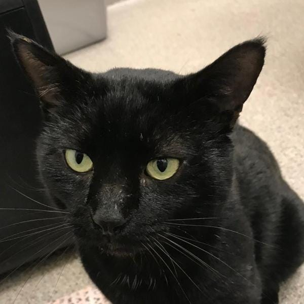 Draco is available for adoption through Cat Depot, 2542 17th St., Sarasota.