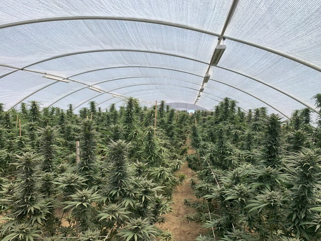 Eight people were arrested by sheriff's officials, who seized 5,043 marijuana plants and 48 pounds of processed marijuana at several illegal marijuana cultivation grows in the Victor Valley.
