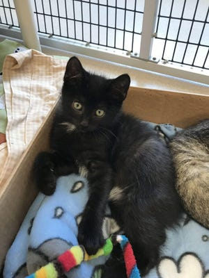 Newman, a kitten at the PAWS & More Animal Shelter in Washington, Iowa, is looking for a home.