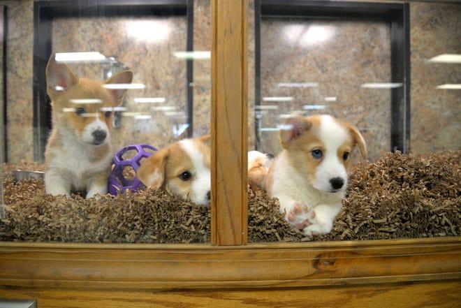 Puppies at Pets-N-Pals in Staunton.