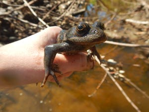 The California red-legged frog has all but disappeared from Ventura County south to the Mexican border.