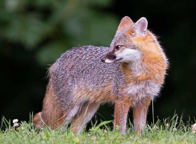 A gray fox vixen strikes a pose in Fairfield County.
