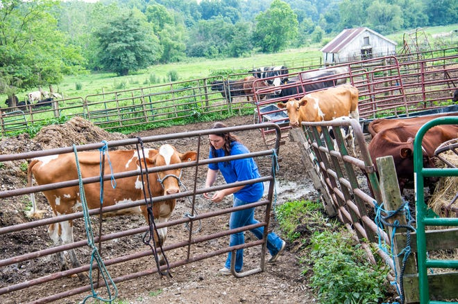 Bloomington North student and Hoosier Hills FFA chapter member Mallorie Elliott gets her cow Magnolia out of her corral Thursday at her grandparents' farm to work with her in preparation for the state fair.