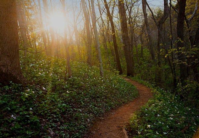 Large White Trillium (Trillium grandiflorum) grows along the Serpent Mound Trail.
