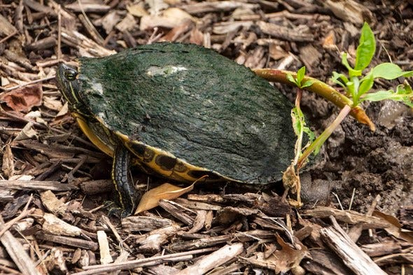 A red-eared slider turtle prepares to lay eggs by digging a hole with her hind legs.
