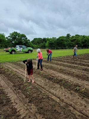 Volunteers care for sweet potato plants at the community garden outside Carnall Elementary School.