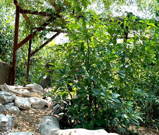 This Aravaipa avocado tree at Shamus O'Leary's Tropical Fruit Trees in Phoenix, was propagated from another Aravaipa avocado tree.