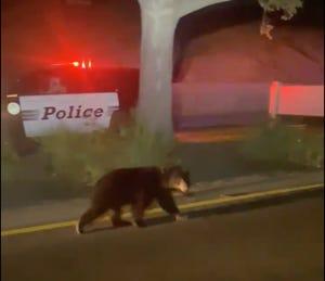 A black bear cub wanders on Lynn Road in Newbury Park early Friday.