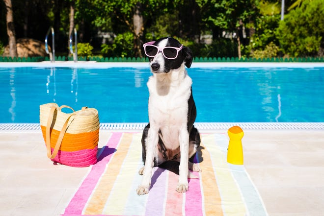 Funny cute dog wearing sunglasses on summer vacation at swimming pool.