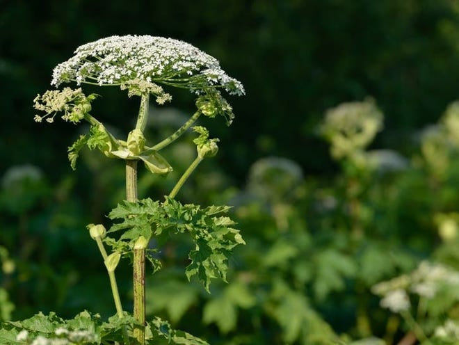 Giant hog weed resembles Queen Anne's Lace. It has a toxic chemistry much like poison ivy.
