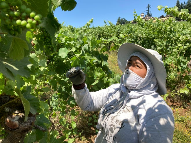 Alejandra Morales Buscio, of Salem, Oregon, reaches up to pull the leaf canopy over pinot noir grapes on Thursday to shade the fruit from the sun at Willamette Valley Vineyards in Turner, Ore. After a recent record heat wave and more hot weather expected, winemakers are worried about what's still ahead this summer amid a historic drought tied to climate change and wildfire risk.