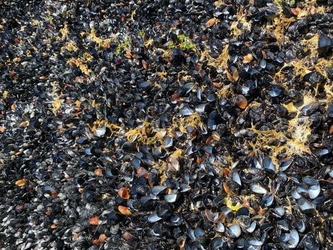 Walking along the Kitsilano Beach in Vancouver, British Columbia, Alyssa Gehman spots a bed of mussels popped open and dead from the heat wave.