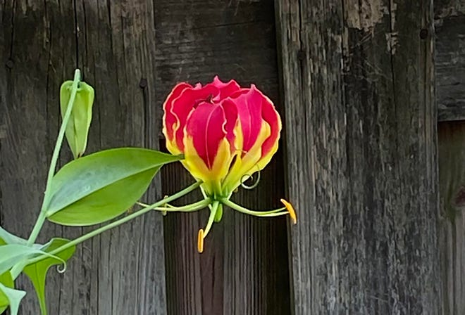 One of many Gloriosa amaryllis blooms in Jean Tanner's yard.