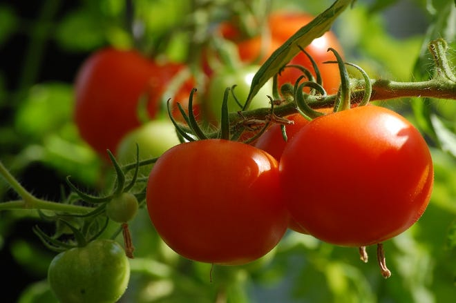 Each season vegetable gardeners anxiously await ripening of their first tomatoes.